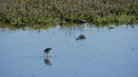 Birds feeding in shallow water. Video of birds feeding in shallow water stock footage