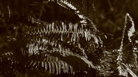 Video of black and white Dryopteris leaves Stock Photos