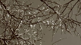 Video of black and white plum tree flower Royalty Free Stock Photo