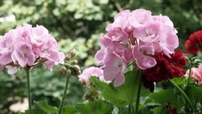Video bloeiende begonia'sooievaarsbek stock videobeelden