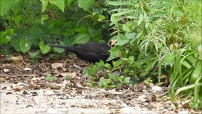 British blackbird foraging in undergrowth for nesting material food. Video of a british blackbird foraging around for nesting material and food during may 2019 stock video footage