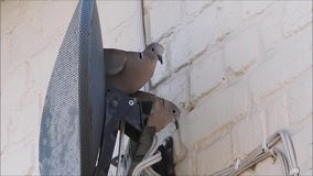 Collared doves setting up home with nest behind satellite dish. Video of british collared doves trying to make a nest behind a satellite tv dish june 2018 stock video