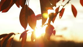 Video of brown autumn cherry tree leaves stock footage