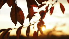 Video of brown autumn cherry tree leaves in the sunset stock video