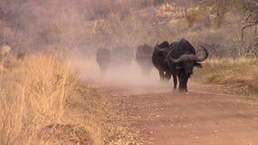 Buffalo walking in a herd down a dusty track