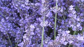 Bumble bee flying about a collection of lavender flowers. Video of bumble bee flying about a collection of lavender flowers stock footage