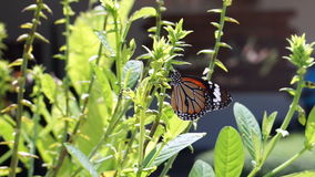 Video butterfly eating plant and flower nectar stock video footage