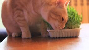 Video of cat eating grass