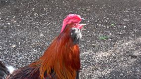 Chicken at a farm stock video footage
