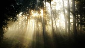 Foggy forest during early morning stock video footage