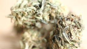 Cannabis business concept . Medical Marijuana seeds hemp stock footage