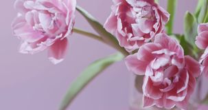 Video of close-up tulips are pink terry in a bouquet with green leaves on a light pink blurred background with soft. A close-up bouquet of pink terry tulips with stock video footage
