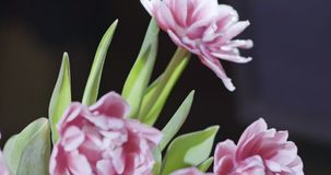 Video of close-up tulips are pink terry in a bouquet with green leaves on a light pink grey blurred background with soft. A close-up bouquet of pink terry tulips stock video footage