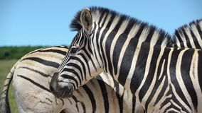 Close up from two zebras in addo elephant. Video of close up from two zebras in addo elephant stock footage