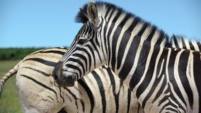 Close up from two zebras in addo elephant national park. Video of close up from two zebras in addo elephant national park stock video footage