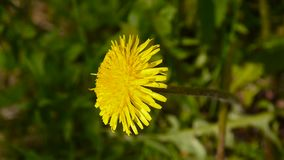 Video closeup of the blooming yellow dandelion in spring field. Video closeup of the blooming yellow dandelion stock video footage