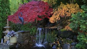 Video of colorful laced maple trees over water feature in garden fall season HD stock footage
