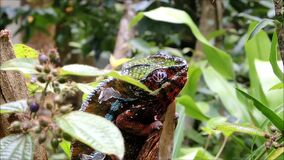 A colorful Panther Chameleon sits on a branch, twitching its eyes. Video of A colorful Panther Chameleon sits on a branch, twitching its eyes stock video