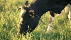 Video of cow. It is eating  grass on the sunset stock video footage