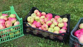Video crop of apples in boxes stock footage