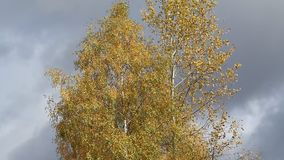 Golden crowns of the birch trees on blue sky background in autumn. Video. Crown of autumn birches with yellow leaves on background of blue cloudy sky. The wind stock video footage