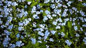 Video del campo con i fiori del nontiscordardime archivi video