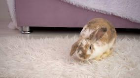 Video del coniglietto beige lanuginoso che riposa nello studio stock footage