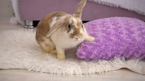 Video del coniglietto beige lanuginoso con il cuscino stock footage