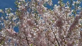 Video del primo piano di un fiore del ciliegio video d archivio