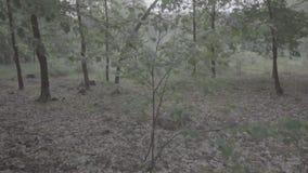 Video della foresta decidua scura nebbiosa nel primo mattino durante il tempo di molla archivi video