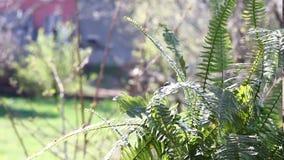 Video delle foglie verdi del Dryopteris stock footage