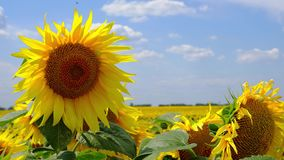 Video des blühenden Feldes der Sonnenblumen stock video footage