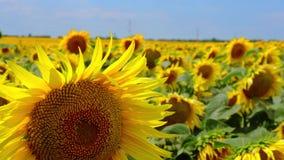 Video des blühenden Feldes der Sonnenblumen stock footage