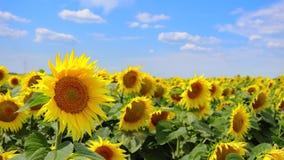 Video des blühenden Feldes der Sonnenblumen stock video