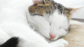Detail of the cat head. Video with detail of the head of sleepy white cat with clicking tongue stock footage