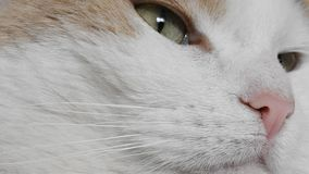 Detail of the Cat Head. Video with Detail of the Head of sleepy white Cat stock footage