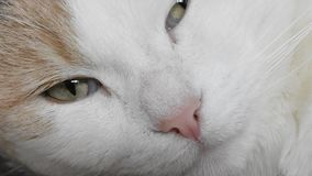 Detail of the cat head. Video with detail of the head of sleepy white cat stock video footage