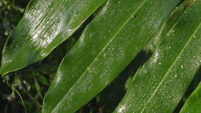 Video of dew on a green leaf made at sunrise. In the jungle of khao yai National park, thailand stock footage