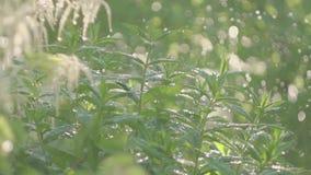 Video di alta qualità del giardino d'innaffiatura, fiori, cespugli video d archivio