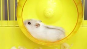 Video die van Jungar-hamster in het wiel lopen