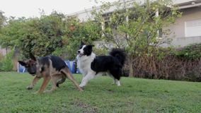 Dogs playing two pets canine. Video of dogs playing two pets canine stock video