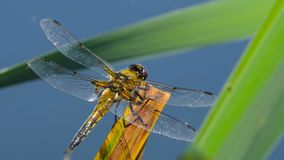 Dragonfly are sitting on a leaf near the river, The dragonfly catching on the tree branch and wood stump at outdoor. Video of dragonfly are sitting on a leaf stock footage