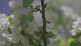 Exterior footage of a bee flying between blossoms. Video of Exterior footage of a bee flying between blossoms stock video