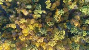 Video för flyg- sikt av apelsinöverkanten av träd i en skog i höst stock video