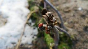 Video för makro för för Colorado potatisskalbagge och nyckelpiga Inte mycket Colorado skalbaggar på en filial Närbilden av foten  arkivfilmer