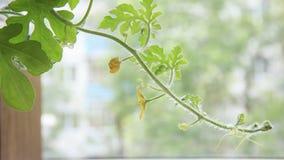 Video för Tid schackningsperiod 4k av den krullande grodden för watermeoln med gult flytta sig för blomma Nära övre skott på en l stock video
