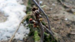 Video f?r makro f?r f?r Colorado potatisskalbagge och nyckelpiga Inte mycket Colorado skalbaggar p? en filial N?rbilden av foten  arkivfilmer