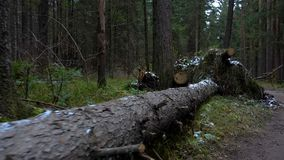 Video of fallen fir tree in the forest stock footage