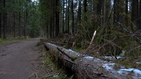 Video of fallen pine tree in the forest stock video