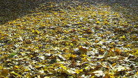 Video of the falling autumn leaf. stock footage